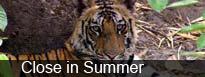 Taj Tigers